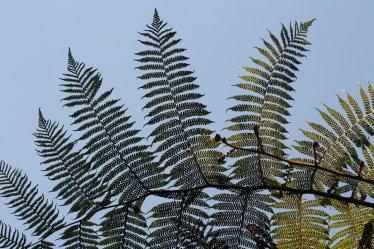 Ausztrál páfrányfa