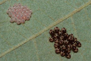 Newly hatched larvae