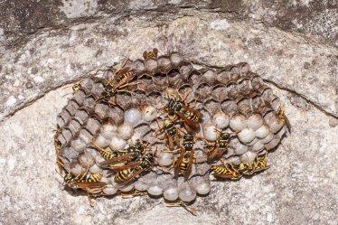 Wasp family
